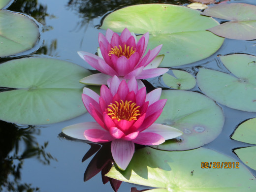 Waterlilies.