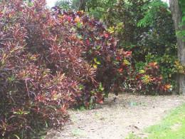 Crotons - Foster Botanical Garden