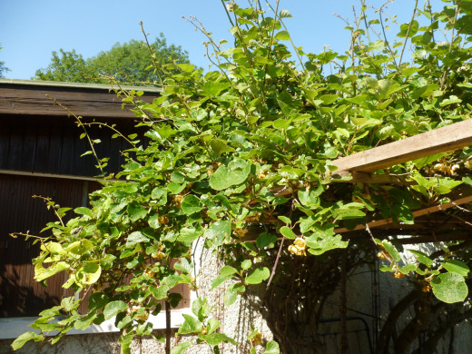 kiwifruit vines