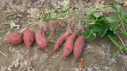 Sweet Potatoes Just Harvested From The Garden Still Attached To The Vine.