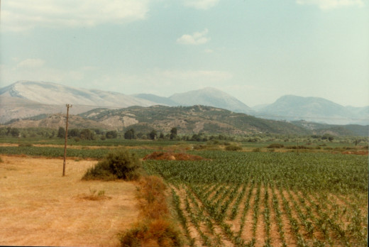Vineyard in Greek countryside