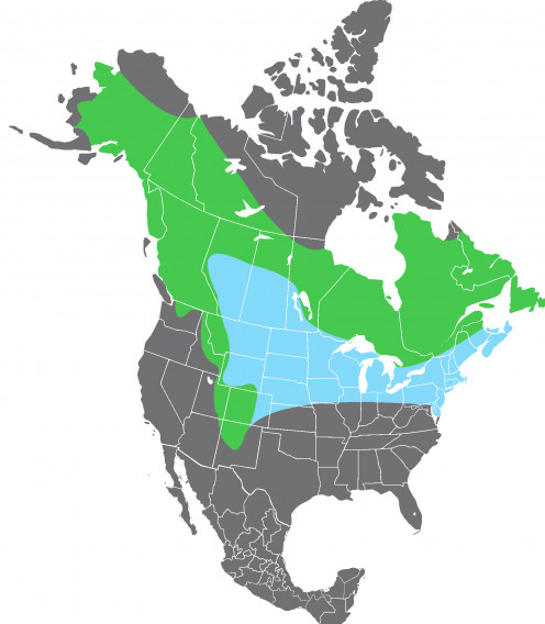 Range map of the Pine Grosbeak, (Pinicola enucleator). Blue indicates non-breeding habitat, green indicates permanent habitat. Based on range map at Nature Serve (See capsule 'Range')