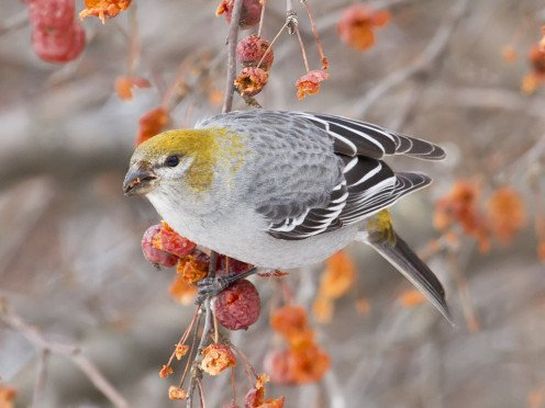 Pinicola enucleator feeding on crabapple fruit. Chippewa Co., Michigan, USA. (See capsule 'Pine Grosbeak')