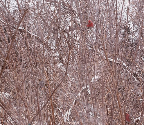 Pine Grosbeak in northern Saskatchewan (See capsule 'Habitat')