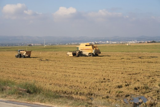 Rice Fields - L'Ampolla, Spain - Rice Harvest