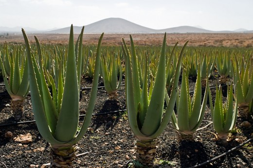 Aloe vera plantation - Canary Islands, Spain.