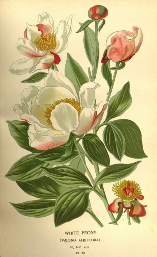 From Favourite flowers of gardens and greenhouse { 1896-97}  the white peony was introduced around 1682.