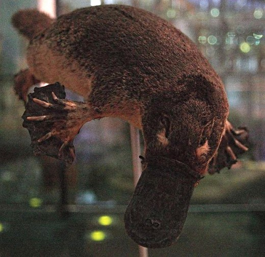 The platypus regularly dive for 10-20 minutes