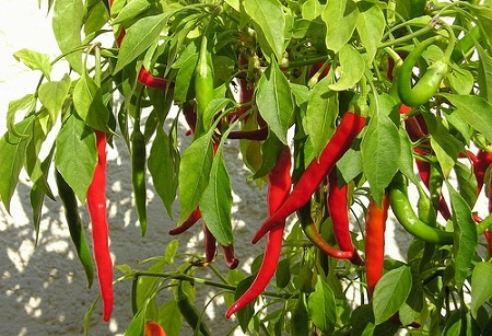 To keep squirrels from eating your plants, sprinkle your plants with cayenne pepper. The cayenne pepper doesn't hurt the plant and the squirrels won't come near it.