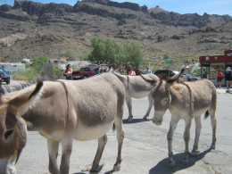Here come the burro's, almost like clockwork down the main street of Oatman every day, looking for handouts.