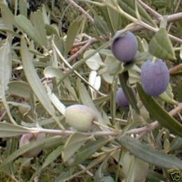 Planta de olivo