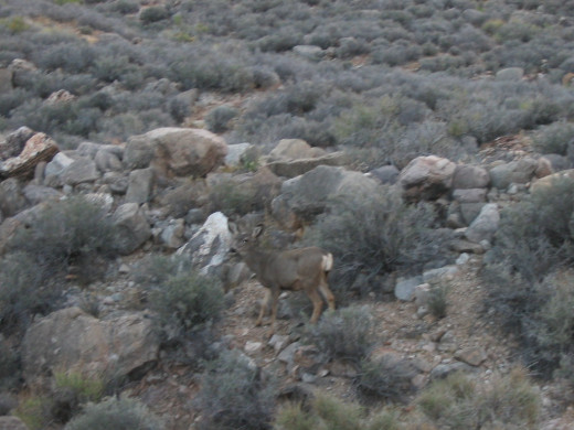 The mule deer looked small, probably because he didn't have a lot of vegetation to eat.