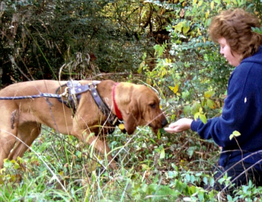 Bloodhounds make good search-and-rescue K9 dogs.