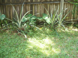 More pineapple plants