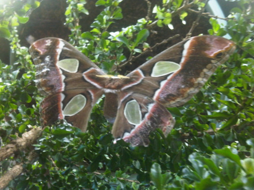 This stunning moth was observed in an ornamental planting at a restaurant near Puntarenas.