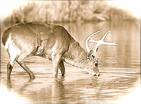 """""""As the deer pants for the water brooks, so pants my soul for You, O God"""" Psalm 42:1"""