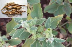 Medicinal Properties of Ashwagandha