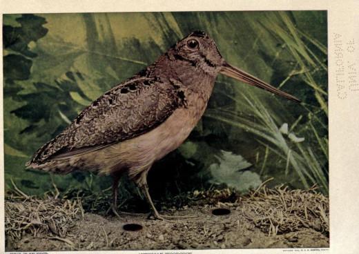 'Birds of Buzzard's Roost'  -Watson 1907