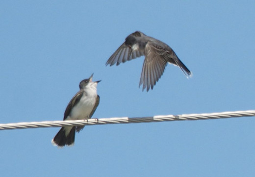 Pair of Eastern Kingbirds Near Veteran's Memorial