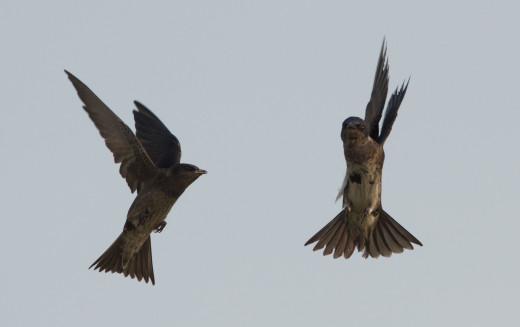 Purple Martins in Flight