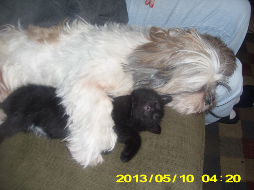 Abby and her playmate Cat decided to take a nap.The Shih Tzu is a loving dog who gets along well with other pets.
