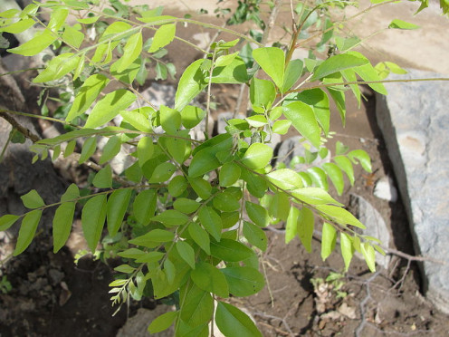 Add flavor and aroma to your cooking with curry leaves