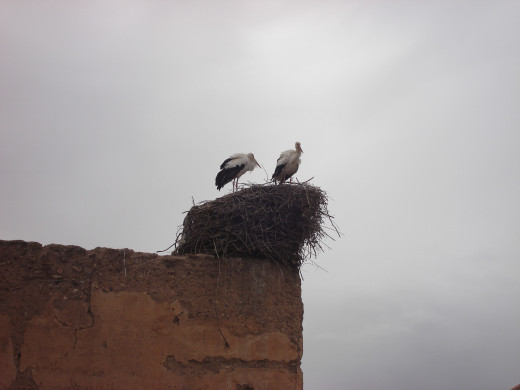 Storks nesting on the city walls in Marrakesh