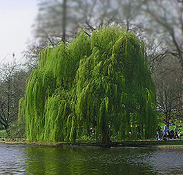 Weeping Willow by lake side