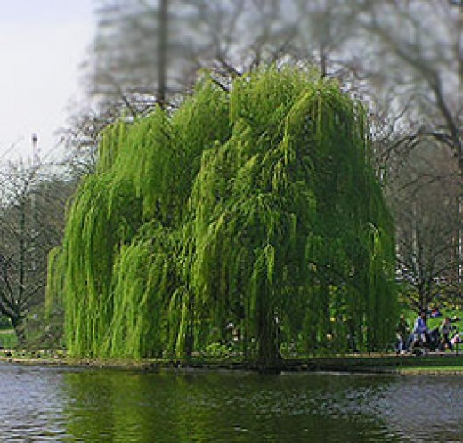 the weeping willow tree  dengarden, Natural flower