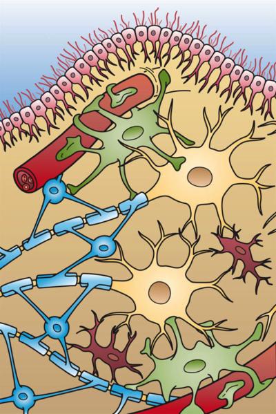 Glial Cells