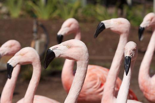 Flamingos of the Santa Barbara Zoo.