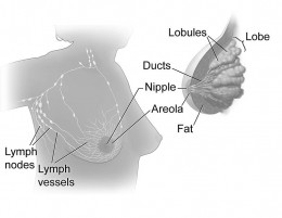That anatomy of the breast - will wearing a bra damage the structures of the breast and lymph nodes?