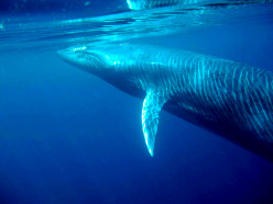 Bryde's Whales, the most unusual of the rorquals