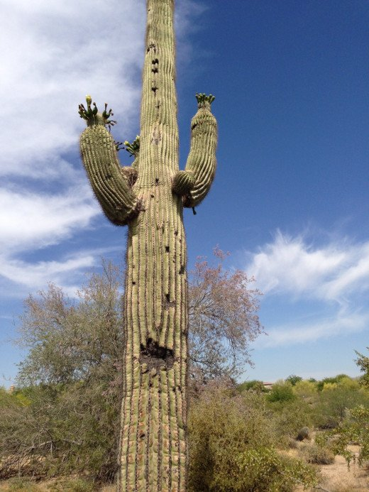 The grand Saguaro. How I love it.