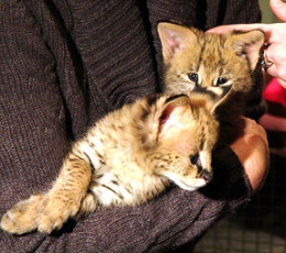 Pet serval kittens