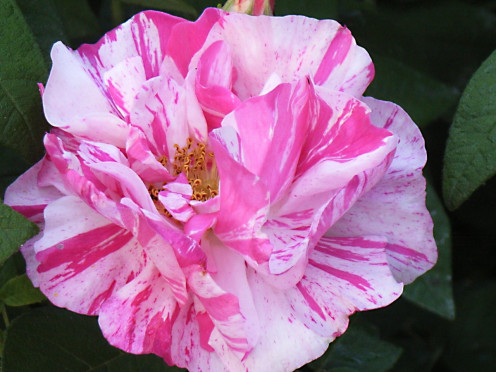 "A cultivar of Rosa gallica officinalis, often known as ""Rosa mundi"""