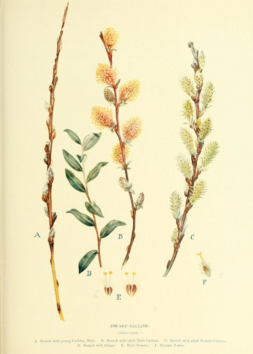 Trees and Shrubs of Britain