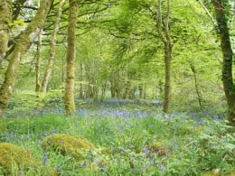 Llanystumdwy Bluebells - this doesn't even do it justice!