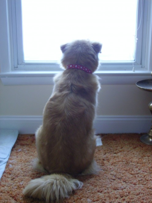 Beffy waiting to bark at cat (every morning)