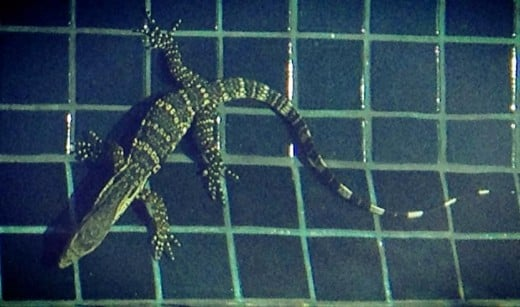 Alfred the Lizard swimming in our salt water pool in Khao Tao. This was the first and only time that we ever saw him. I nicknamed him Alfred (my Thai grandfather's Christian name).