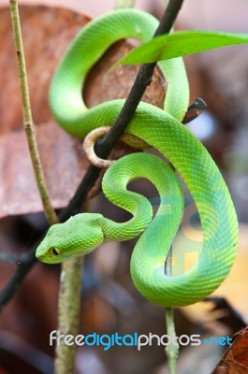 Is it literally true that there are NO snakes in Ireland?