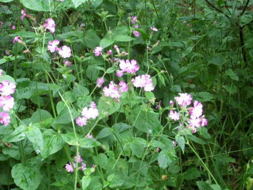 Red Campion - also known as 'adder's flower' - is one of the prettiest flowers of woodland edges and hedgerows.
