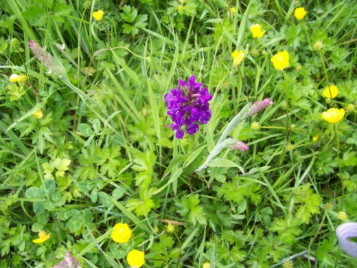 Wild orchid - this is the Northern Marsh Orchid - and can be found at Lochore Meadows at the edge of the forest trails. In this photograph the orchid is surrounded by the ever pretty buttercups.