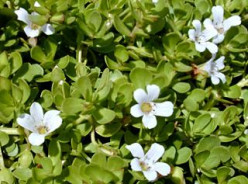 HERBAL BENEFITS OF BRAHMI (BACOPA MONNEIRI)