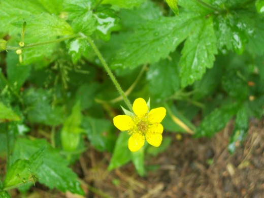 The lovely little buttercup that can be found in the countryside as well as in towns and cities.