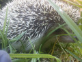 The Importance In The Control Of Temperature In Hedgehogs