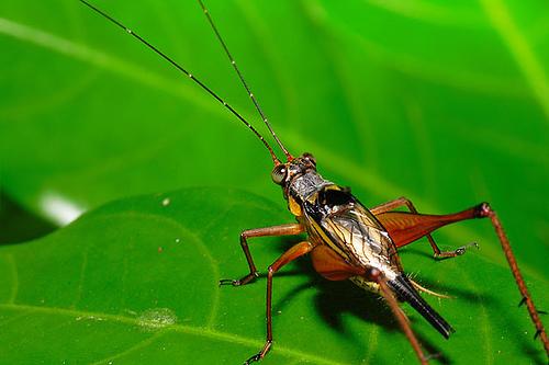 cricket from Terapox flickr.com