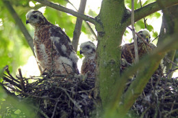 Sparrowhawk Nest Nottsexminer flickr.com