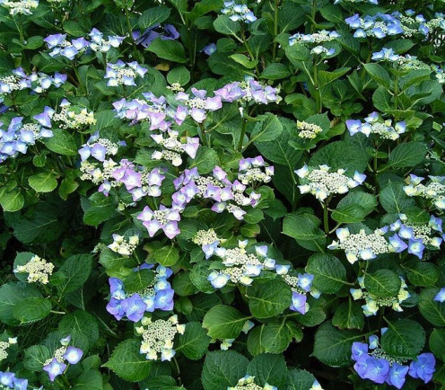 The beautiful blues and mauves of Hydrangea_macrophylla