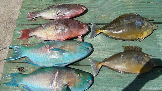 Brother Charlie's Spearfishing Haul Four UHU (Parrotfish) and Two Kala (Sturgeonfish)